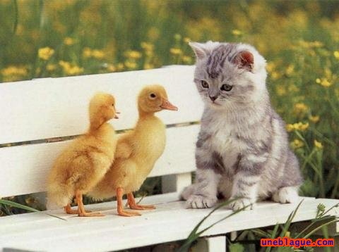 1 chat, 2 canards